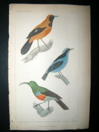 Cuvier C1835 Antique Hand Col Bird Print. The Pipitetc, 37